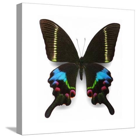 Krishna Swallowtail-Christopher Marley-Stretched Canvas Print