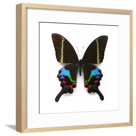Krishna Swallowtail-Christopher Marley-Framed Art Print