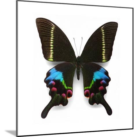 Krishna Swallowtail-Christopher Marley-Mounted Photographic Print