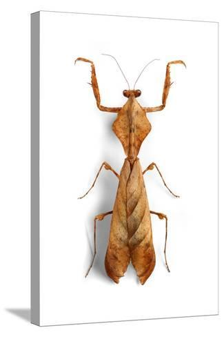 Mantis 3-Christopher Marley-Stretched Canvas Print
