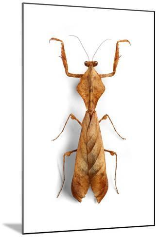 Mantis 3-Christopher Marley-Mounted Photographic Print