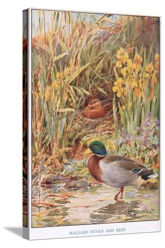 Mallard Ducks and Nest, Illustration from 'Country Days and Country Ways'-Louis Fairfax Muckley-Stretched Canvas Print