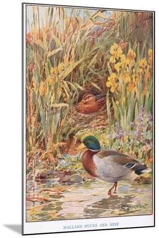 Mallard Ducks and Nest, Illustration from 'Country Days and Country Ways'-Louis Fairfax Muckley-Mounted Giclee Print