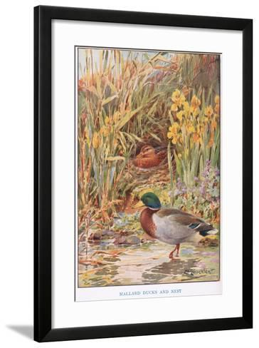 Mallard Ducks and Nest, Illustration from 'Country Days and Country Ways'-Louis Fairfax Muckley-Framed Art Print