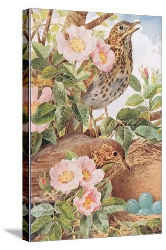 Song Thrushes with Nest, Illustration from 'Country Days and Country Ways', 1940s-Louis Fairfax Muckley-Stretched Canvas Print