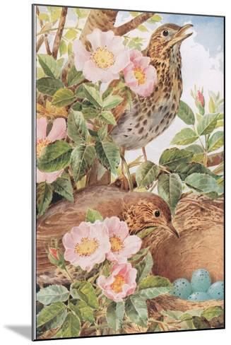 Song Thrushes with Nest, Illustration from 'Country Days and Country Ways', 1940s-Louis Fairfax Muckley-Mounted Giclee Print