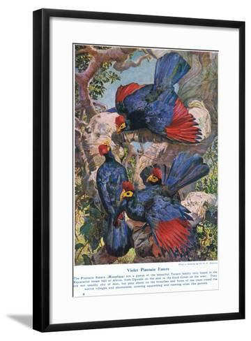 Violet Plantain Eaters, Illustration from 'Wonders of Lands and Sea', Published by Cassell,…-Harry Hamilton Johnston-Framed Art Print