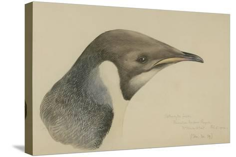 Immature Emperor Penguin, McMurdo Strait, 6 Feb, 1904-Edward Adrian Wilson-Stretched Canvas Print