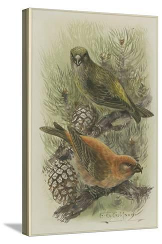 Crossbill, Illustration from 'A History of British Birds' by William Yarrell, c.1905-10-Edward Adrian Wilson-Stretched Canvas Print
