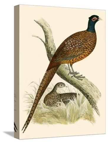 Pheasant-Beverley R. Morris-Stretched Canvas Print