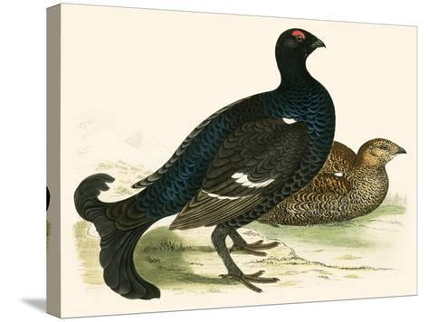 Black Grouse-Beverley R. Morris-Stretched Canvas Print