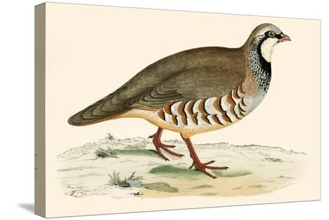 Red Legged Partridge-Beverley R. Morris-Stretched Canvas Print