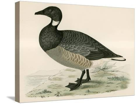 Brent Goose-Beverley R. Morris-Stretched Canvas Print
