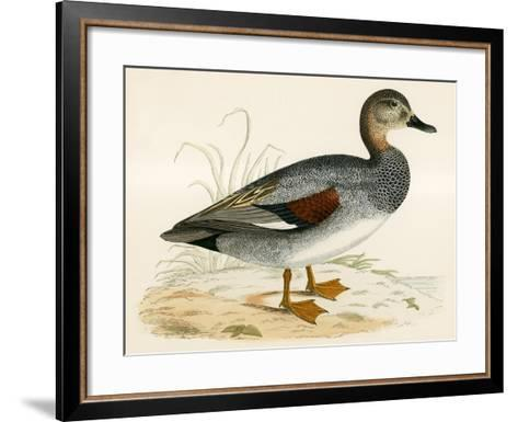 Gadwall-Beverley R. Morris-Framed Art Print