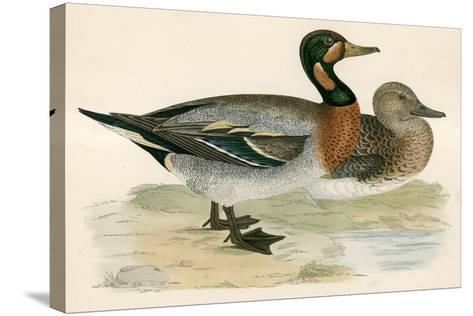 Bimaculated Duck-Beverley R. Morris-Stretched Canvas Print