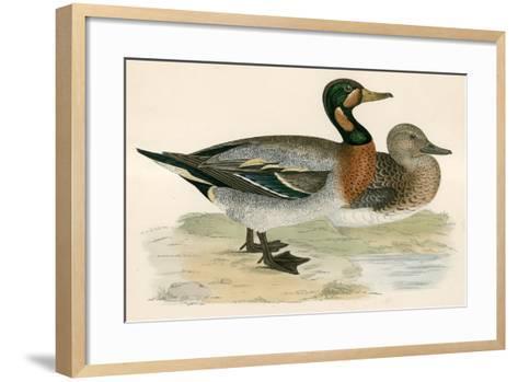 Bimaculated Duck-Beverley R. Morris-Framed Art Print