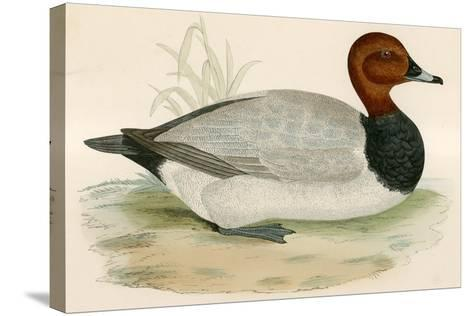 Pochard-Beverley R. Morris-Stretched Canvas Print