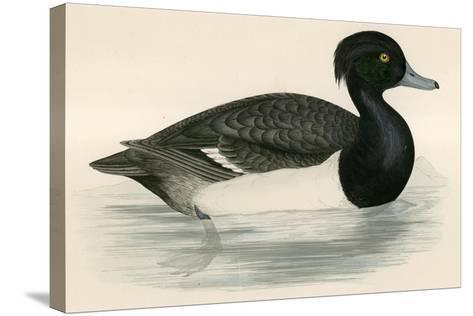 Tupted Duck-Beverley R. Morris-Stretched Canvas Print