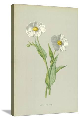 Snowy Crowfoot-Frederick Edward Hulme-Stretched Canvas Print