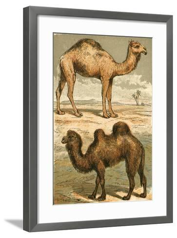 Arabian Camel and Bactrian Camel-English School-Framed Art Print