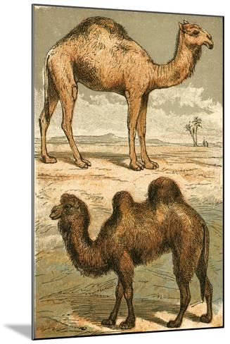 Arabian Camel and Bactrian Camel-English School-Mounted Giclee Print