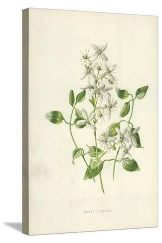 Sweet Clematis-Frederick Edward Hulme-Stretched Canvas Print