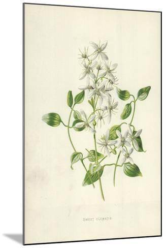 Sweet Clematis-Frederick Edward Hulme-Mounted Giclee Print