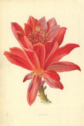 Cactus-Frederick Edward Hulme-Stretched Canvas Print