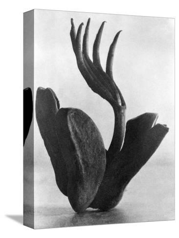 Flor de Manita, Mexico City, 1925-Tina Modotti-Stretched Canvas Print