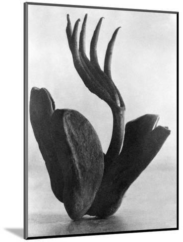 Flor de Manita, Mexico City, 1925-Tina Modotti-Mounted Photographic Print