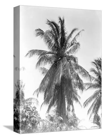 Palm Tree, 1925-Tina Modotti-Stretched Canvas Print