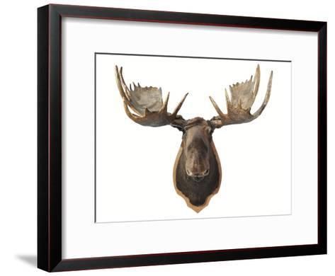 Canadian Taxidermy Moose Head Hunting Trophy, Mounted on an Oak ...