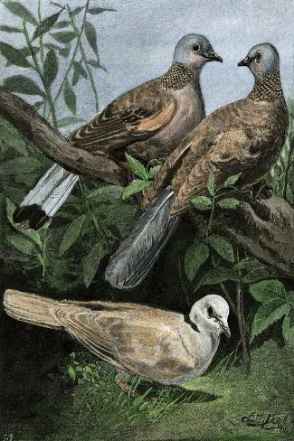Two Turtle-Doves and a Ring-Necked Dove (Below)--Stretched Canvas Print