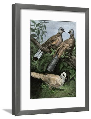 Two Turtle-Doves and a Ring-Necked Dove (Below)--Framed Art Print