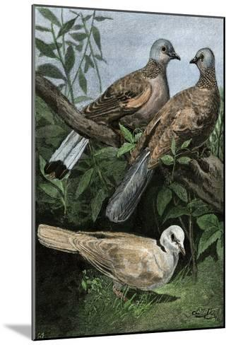Two Turtle-Doves and a Ring-Necked Dove (Below)--Mounted Giclee Print