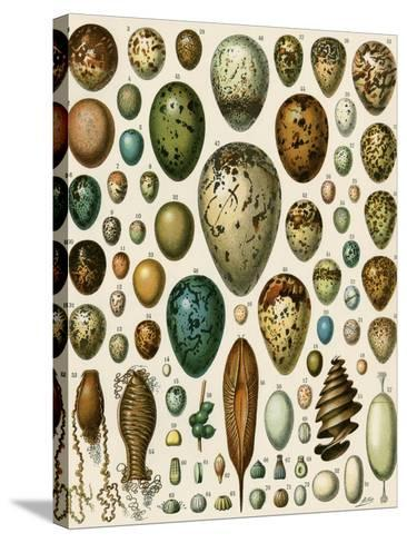 Eggs of Some Birds and Turtles, and Seed Cases of Bryophites and Some Other Plants--Stretched Canvas Print