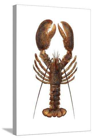 American Lobster, From a Specimen in Eastport, Maine, 1880s--Stretched Canvas Print