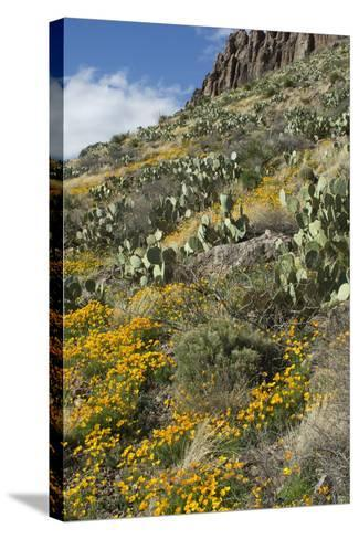 Mexican Poppies and Other Chihuahuan Desert Plants in the Little Florida Mountains, New Mexico--Stretched Canvas Print