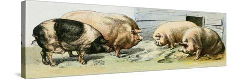 Domesticated Pigs--Stretched Canvas Print