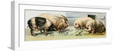Domesticated Pigs--Framed Art Print