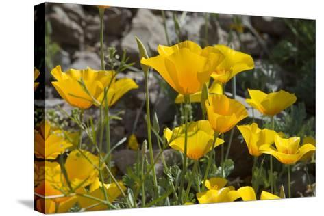 Mexican Poppies Blooming in the Little Florida Mountains, New Mexico--Stretched Canvas Print