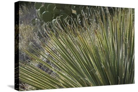 Narrow-Leaf Yucca in the Little Florida Mountains, New Mexico--Stretched Canvas Print