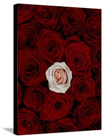 Red and Pink Roses-Graeme Montgomery-Stretched Canvas Print