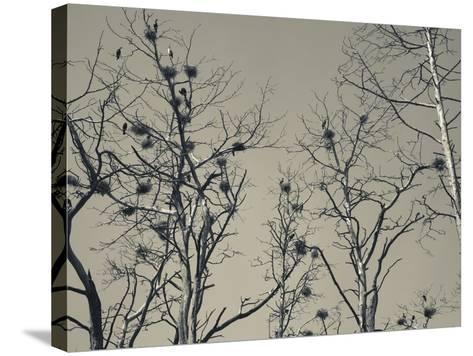 Cormorant Bird Colony on a Tree, Nida, Curonian Spit, Lithuania--Stretched Canvas Print