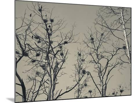 Cormorant Bird Colony on a Tree, Nida, Curonian Spit, Lithuania--Mounted Photographic Print