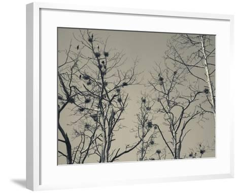 Cormorant Bird Colony on a Tree, Nida, Curonian Spit, Lithuania--Framed Art Print