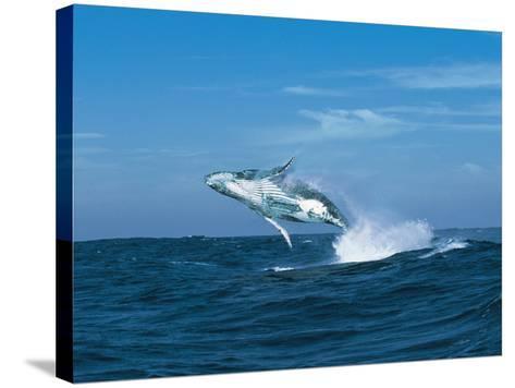 Humpback Whale (Megaptera Novaeangliae) Breaching in the Sea--Stretched Canvas Print