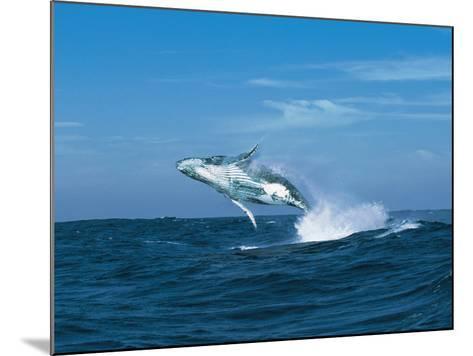Humpback Whale (Megaptera Novaeangliae) Breaching in the Sea--Mounted Photographic Print