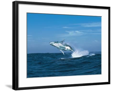 Humpback Whale (Megaptera Novaeangliae) Breaching in the Sea--Framed Art Print