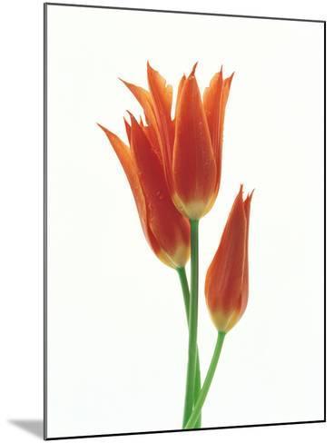 Orange Flowers Against White Background--Mounted Photographic Print